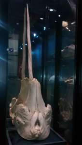 Narwhal skull and tusk